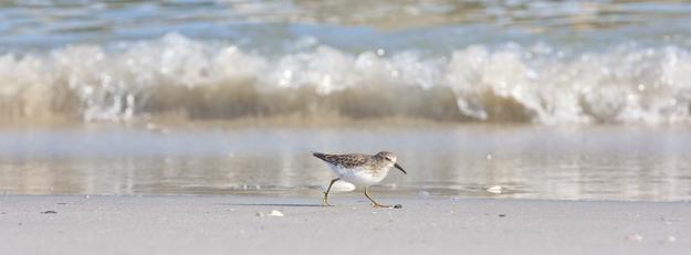 Least Sandpiper on the beach