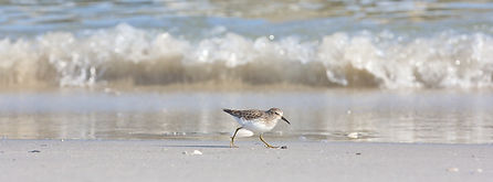 Least Sandpiper on the Beach