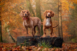 Cute spaniels in West Woods at Autumn