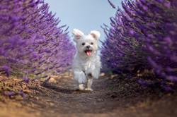 Maltese Dog In Lavender