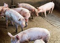 dirty pigs