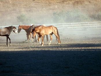 adferd hest