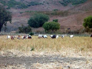 atferd hest mustanger