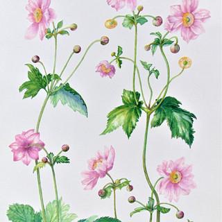 "Anemone japonica hybrida ""Serenade"""