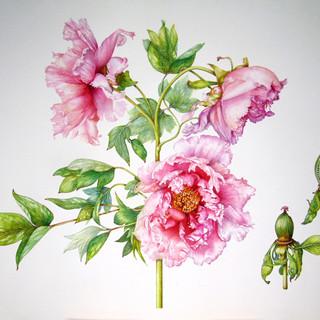 "Paeonia suffruticosa "" Sakura Jishidi"""