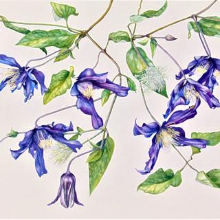 "Clematis viticella ""Etoile Violette"""