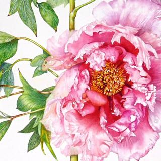 "Detail from Paeonia suffruticosa "" Sakura Jishidi """