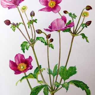 """Anemone japonica hybrid """" Red Riding Hood"""""""