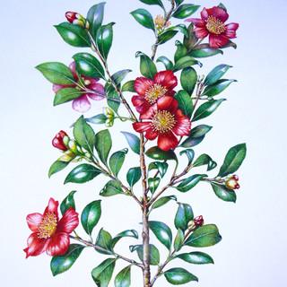 """Camellia vernalis """"Yuletide"""""""