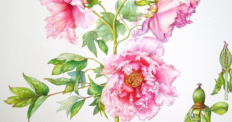 SBA tree peony Sakura Jishidi _edited.jpg