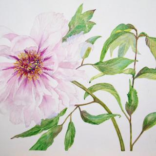 """Paeonia suffruticosa """" Shimanofuji"""""""