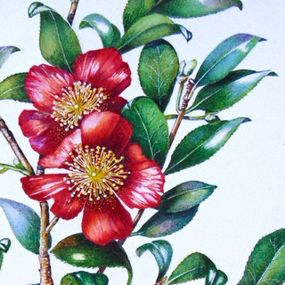 "Detail from camellia vernalis ""yuletide"""