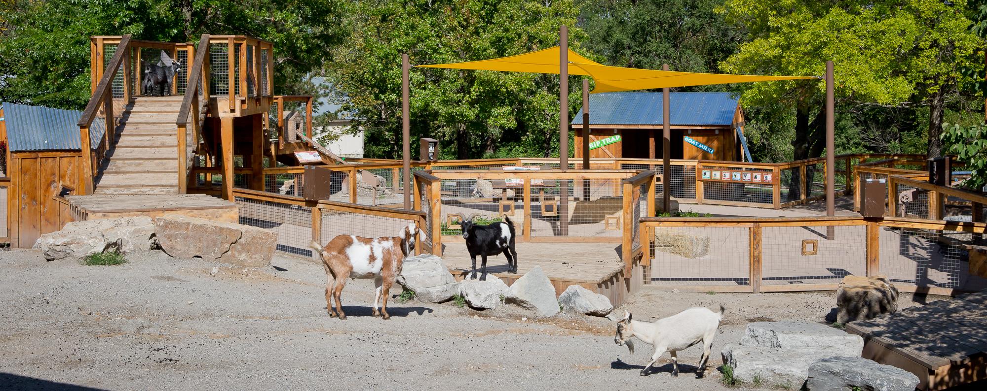 KC Goat Exhibit
