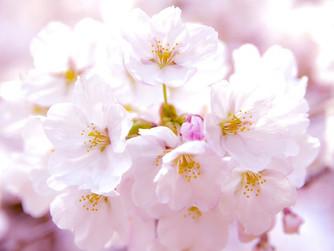 春と言えば 桜!