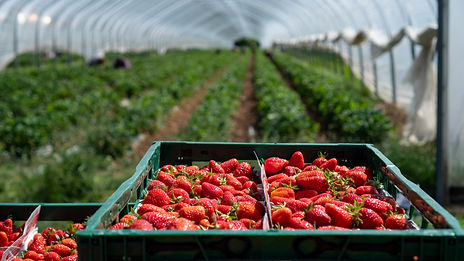 wild grapes bistro strawberries