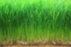 Wheat grass Wild Grapes