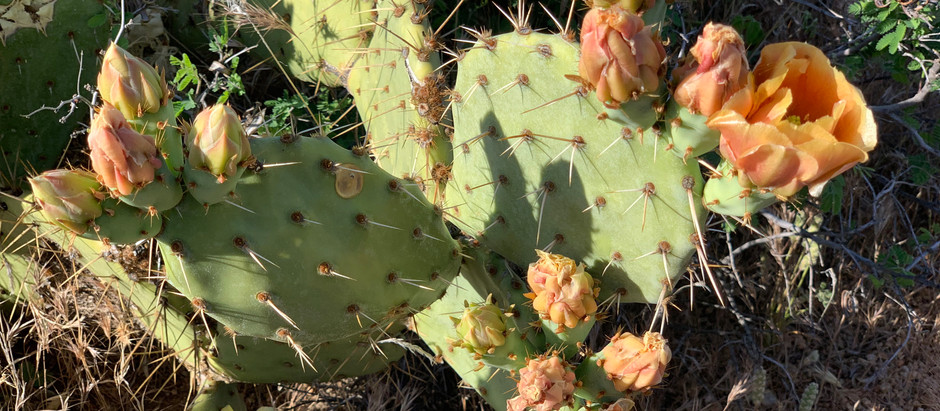 Let the Prickly Pear Cactus Become Your New Favorite Food