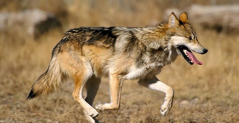 3 Endangered Desert Predators You Can See in Arizona