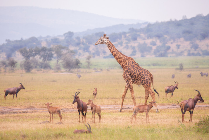 Giraffe Field.jpg