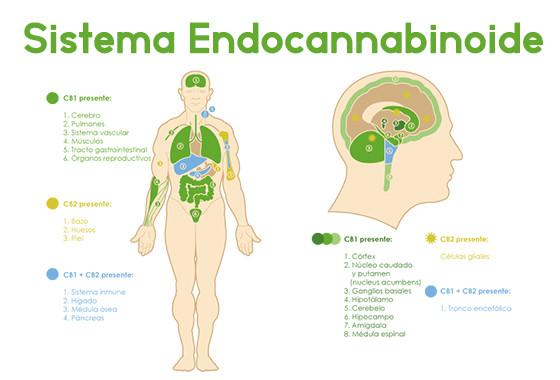 sistema endocannabinoide cbdmex.com