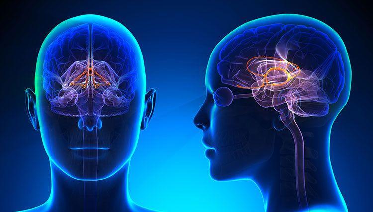 sistema limbico cbdmex.com