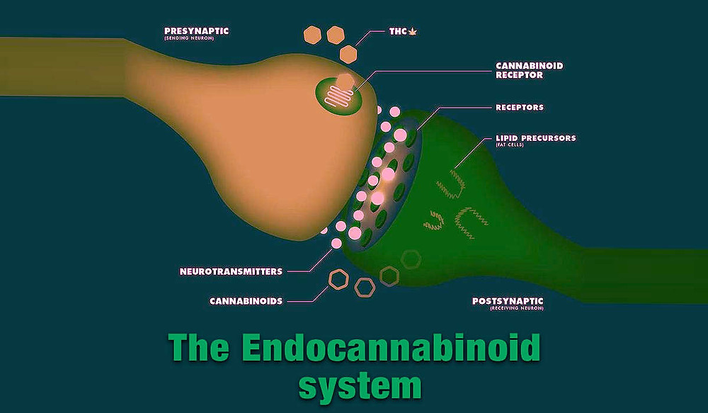 sistema edocanabinoide, cbd, thc, cannabis