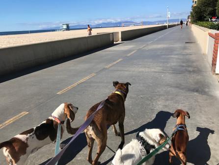 Pack Dog Walk