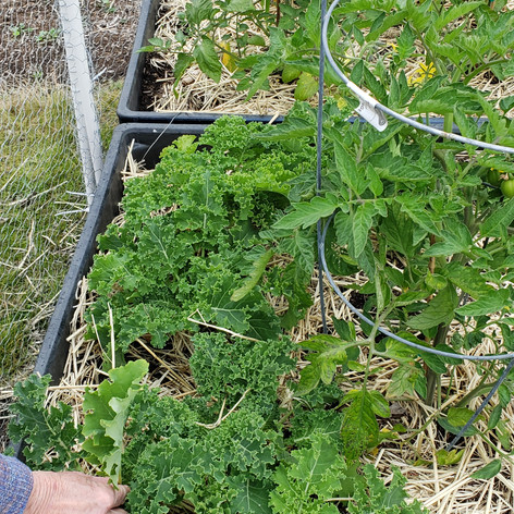 kale for harvest 12 June.jpg