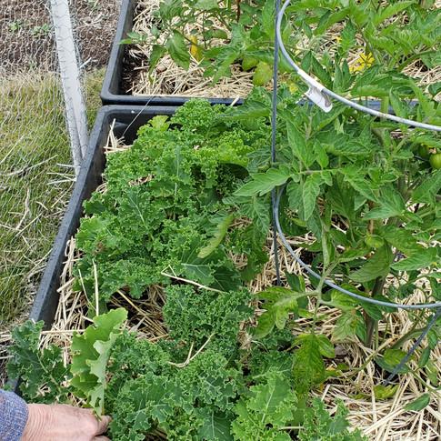 kale for harvest 12 June.jpg