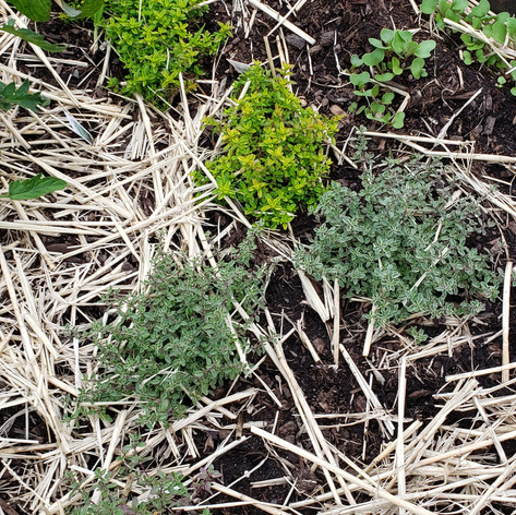 thyme varieties 12 June.jpg