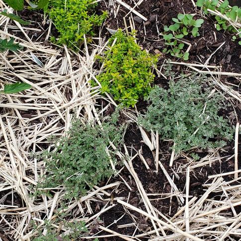 thyme varieties 12 June.jpg