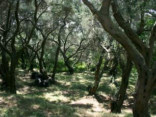Olivenhain auf dem Weg zum Haus