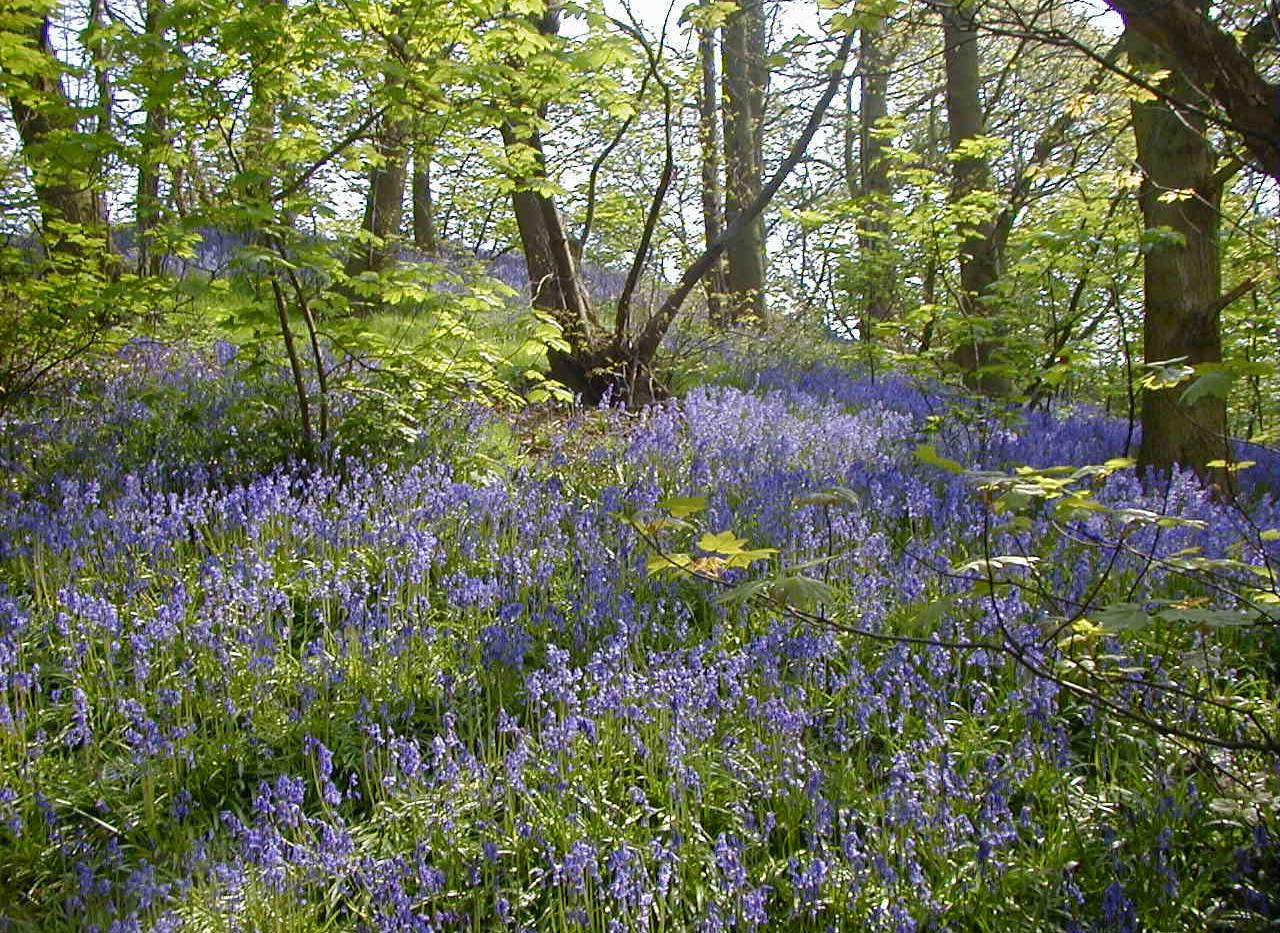 Dingley Wood