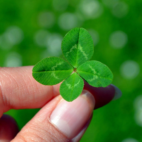 Why are 4-Leaf Clovers Considered Lucky?