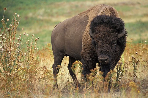 Bison: The All-American Mammal