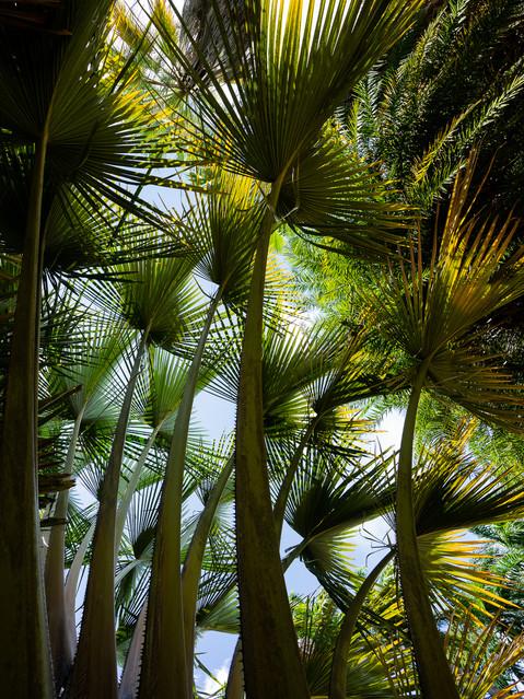 contrasté-antilles-caribbean-palm-tropic
