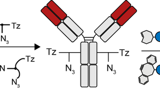 "Substrate Design Enables Heterobifunctional, Dual ""Click"" Antibody Modification via Microbial Transg"