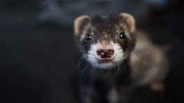 Cornell Chronicle: Nasal spray blocks COVID-19 infection in ferrets