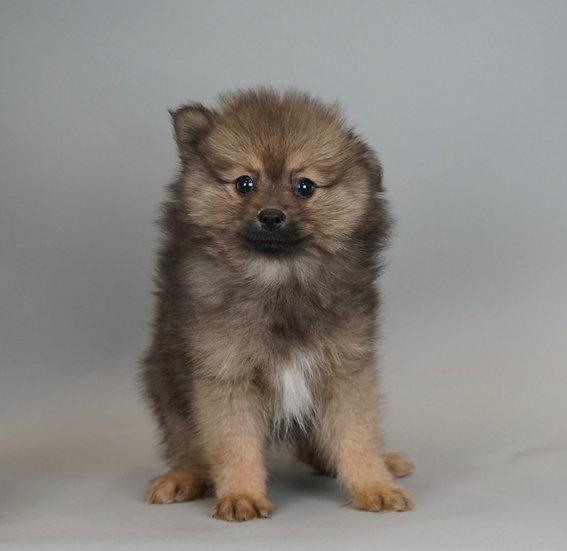 Leelo - Pomeranian - AKC Boy
