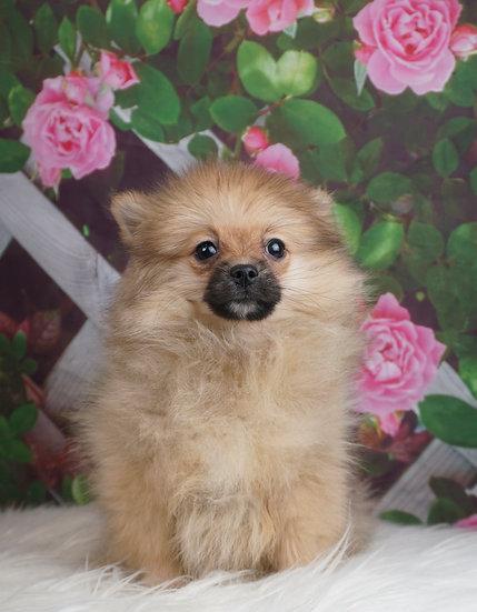 Brandy - AKC - Pomeranian - Girl