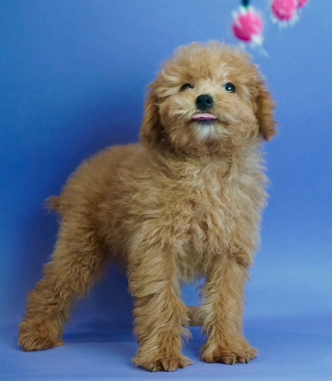 Dolche - Toy Poodle/Miniature - AKC - Boy