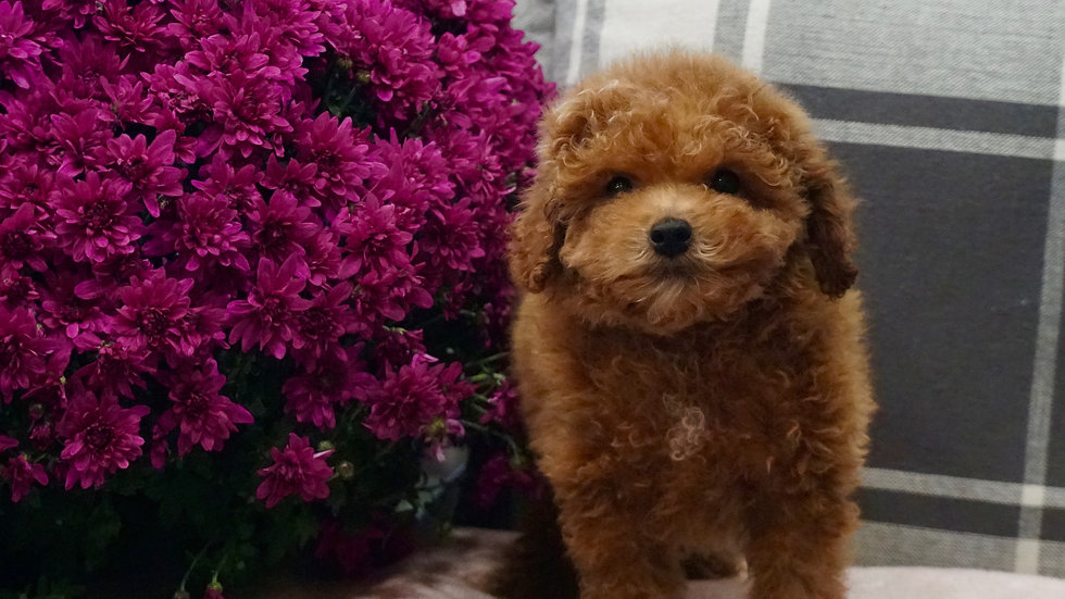 Valentino -  Toy Poodle