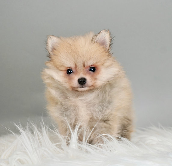 Tiny Nina - Pomeranian - AKC Girl