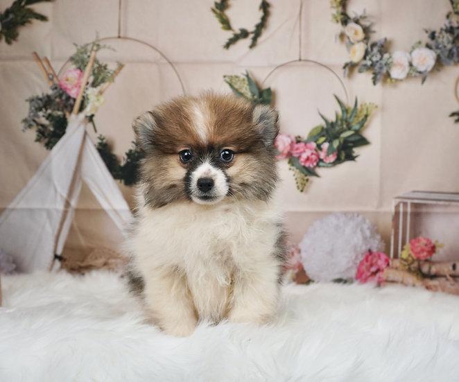 Betty - AKC - Toy Pomeranian - Girl