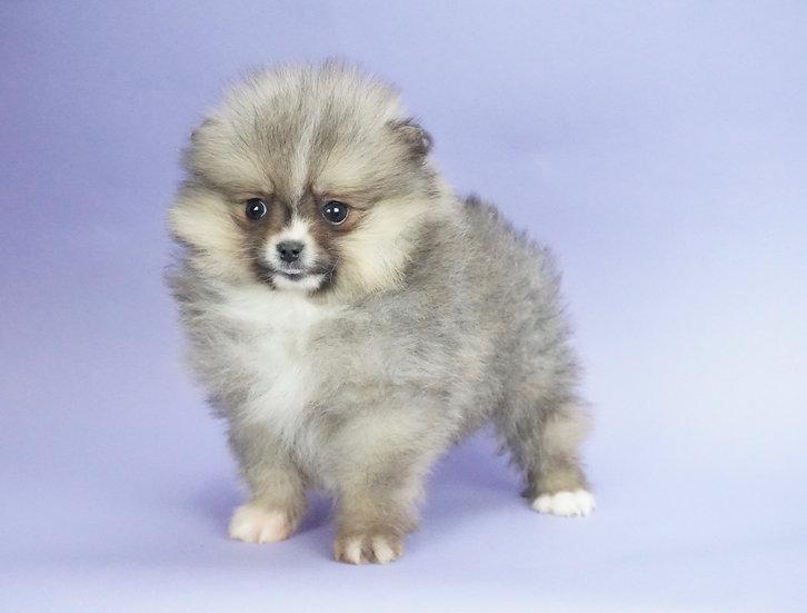 Squishy - Pomeranian - AKC Boy