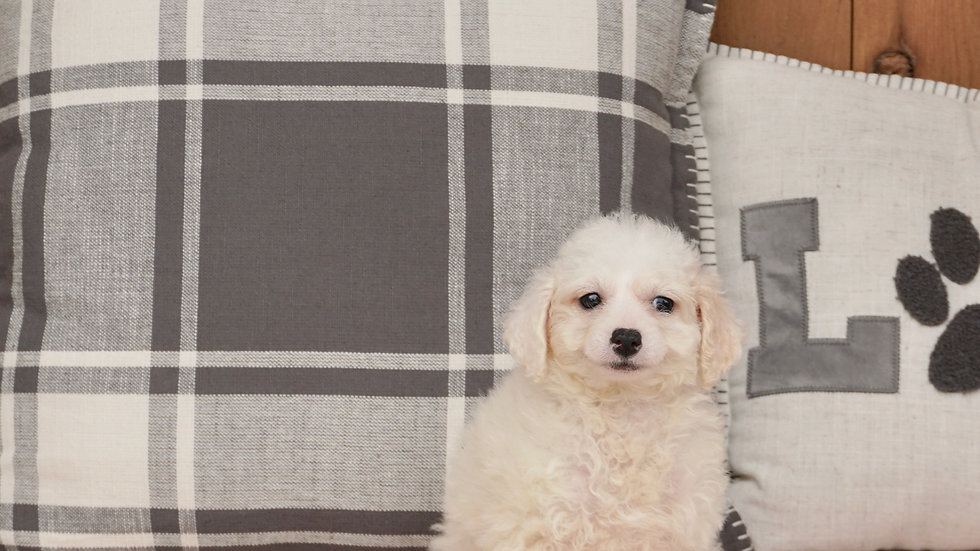 Lucy - Toy Poodle