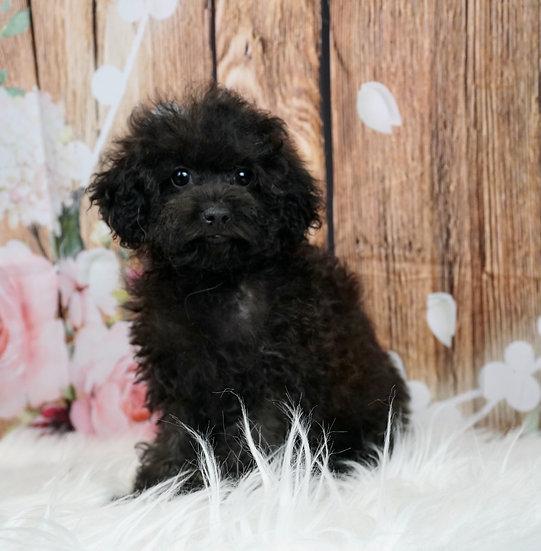 Ivy - AKC - Toy Poodle - Girl
