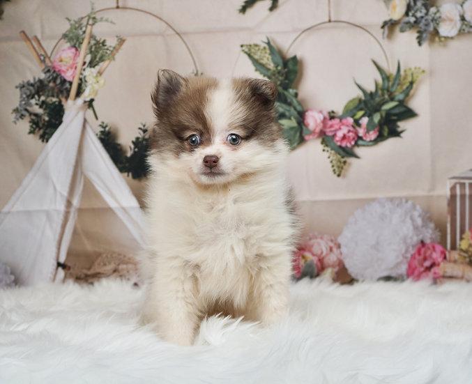Lottie - AKC - Toy Pomeranian - Girl