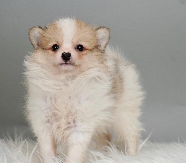 Parker - Pomeranian - AKC Boy Ready 1/17