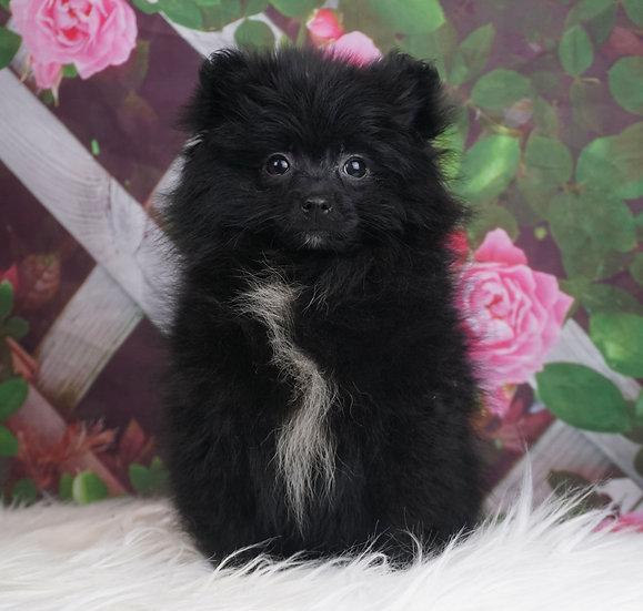 Brooklyn - AKC - Pomeranian - Girl